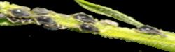 Kerti, növényi kártevők